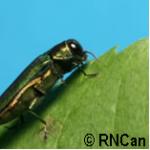 Investissement pour lutter contre l'agrile du frêne à Québec