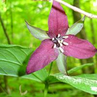 Initiation aux plantes printanières au mont Wright – 11 mai 2019