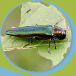Visioconférence gratuite sur l'agrile du frêne et AGA 2020 de l'AF2R – 24 novembre